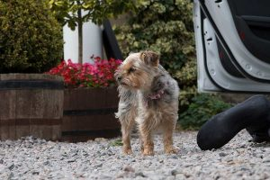 Bella the Coul House Hotel dog greeting guests in the hotel car park