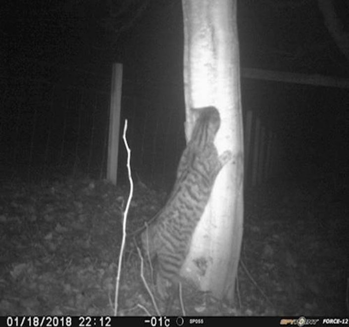 Image of a wildcat in Contin scratching a tree.